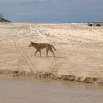 Dingo on Fraser Island | Australia