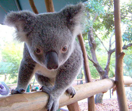 koala coming right for me in Queensland