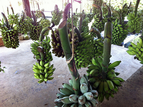 organic banana bunches hanging after harvest