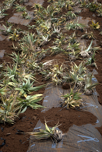 maui-pineapple-crowns-planting