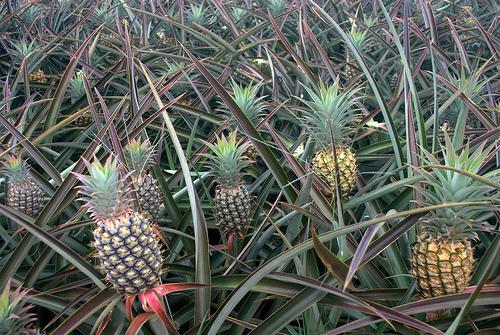 maui-pineapple-field