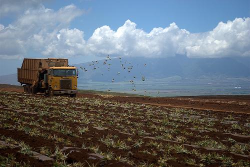 maui-pineapple-fields