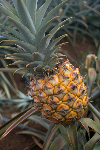 maui-pineapple-gold