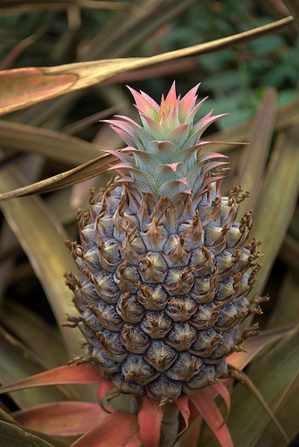 maui-pineapple-growing