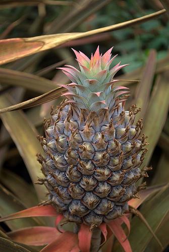 maui-pineapple-growing