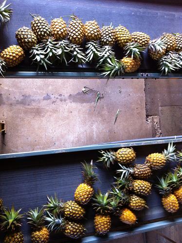 maui-pineapple-harvest